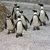 10 Facts about African Penguins