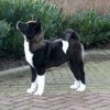 10 Facts about Akitas