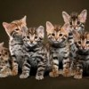 10 Facts about Bengal Cats