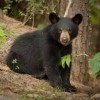 10 Facts about Black Bears
