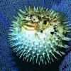 10 Facts about Blowfish