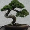 10 Facts about Bonsai Trees