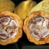 10 Facts about Cacao