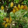 10 Facts about Cacao Trees