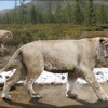 10 Facts about Cave Lions