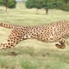 10 Facts about Cheetahs
