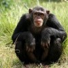 10 Facts about Chimpanzees
