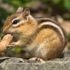 10 Facts about Chipmunks