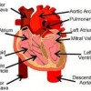 10 Facts about Circulatory System