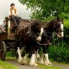 10 Facts about Clydesdales