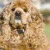 10 Facts about Cocker Spaniels