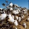 10 Facts about Cotton