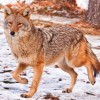 10 Facts about Coyotes