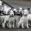 10 Facts about Dalmatians