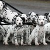 10 Facts about Dalmatians