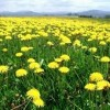 10 Facts about Dandelions