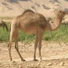 10 Facts about Dromedary Camels