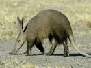 10 Facts about Aardvarks