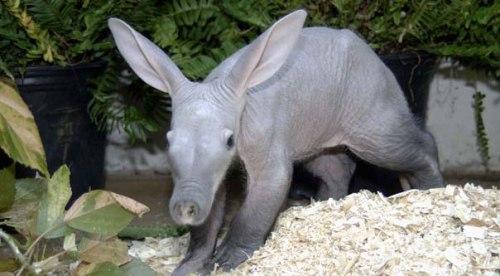 Aardvarks Pic