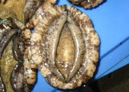 Abalone Facts