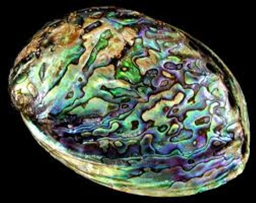 Abalone Pictures