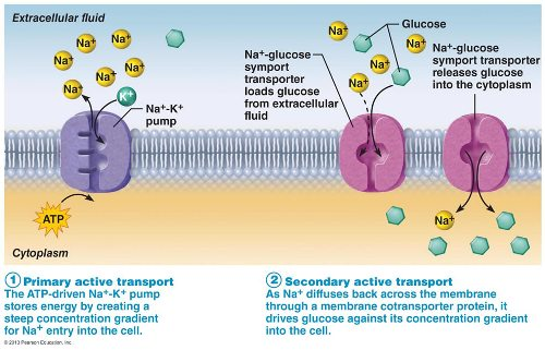 Active Transport Pictures