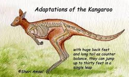 Adaptation Kangaroo