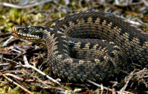 Adders Facts