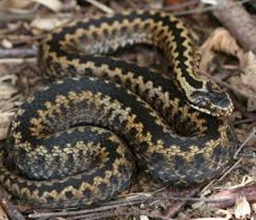 Adders Images