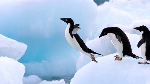 Adelie Penguin Image