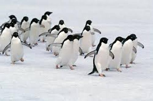 Adelie Penguins Colonies