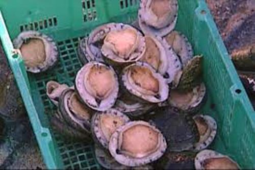 Facts about Abalone
