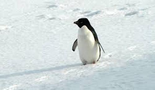 Facts about Adelie Penguins