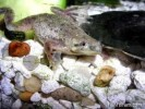 10 Facts about African Dwarf Frog