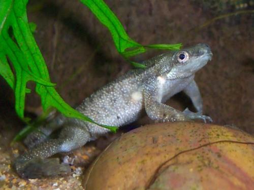African Dwarf Frog Cute