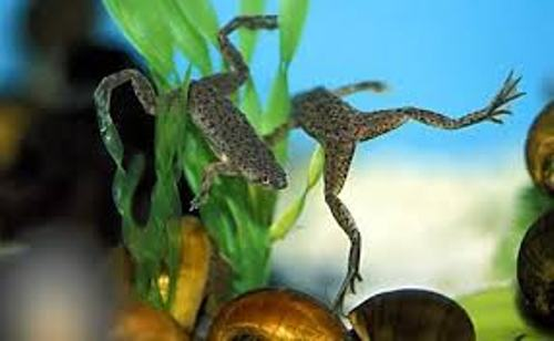 African Dwarf Frog Pictures