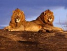 10 Facts about African Lions