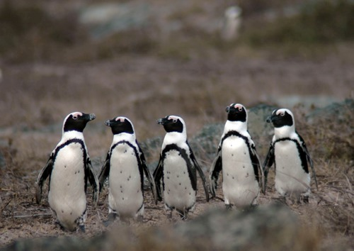 African Penguin Images