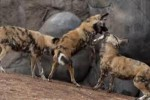 10 Facts about African Wild Dogs
