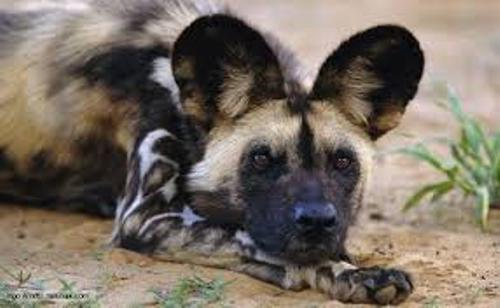 African Wild Dogs Facts