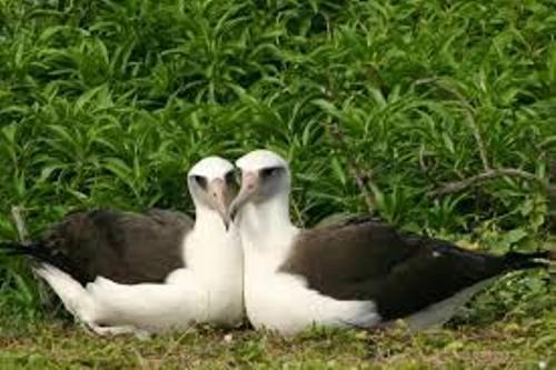 Albatrosses Images