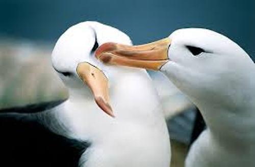 Albatrosses Pic