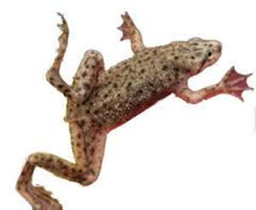 Facts about African Dwarf Frog