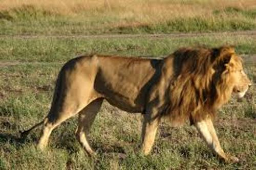 Facts about African Lions