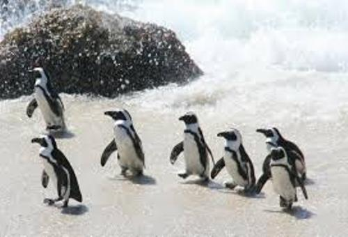 Facts about African Penguins