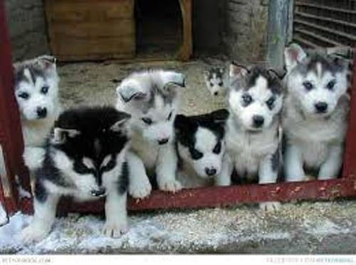 Facts about Alaskan Huskies