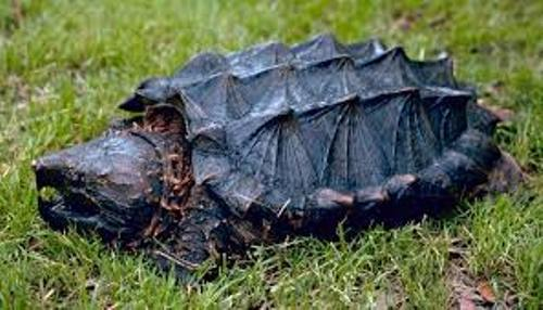 Alligator Snapping Turtles