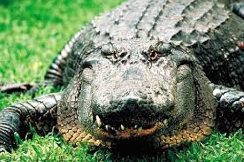 Alligators Image