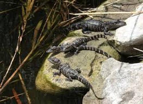 Alligators Pic
