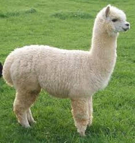 Alpacas Facts